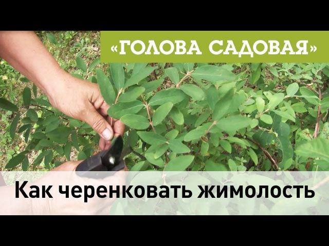 Голова садовая - Как черенковать жимолость