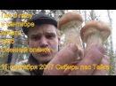 Поход в лес за грибами опятами и лисичками 11 сентября 2017 Сибирь тайга природа ох ...