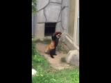Красная панда пугает камень!