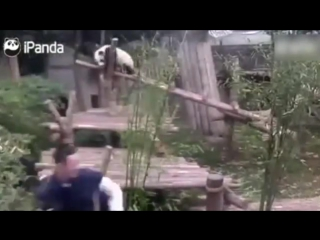 Странная привязанность медвежонка панды по имени Ции к ноге сотрудника зоопарка.