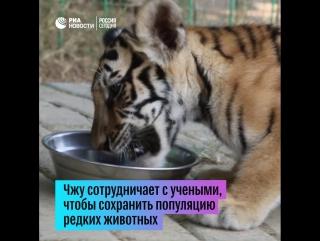 Китаец разводит тигров
