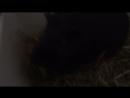 Морские свинки едят огурец
