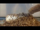 Black Soldier Fly BSF Larvae Vs A Banana
