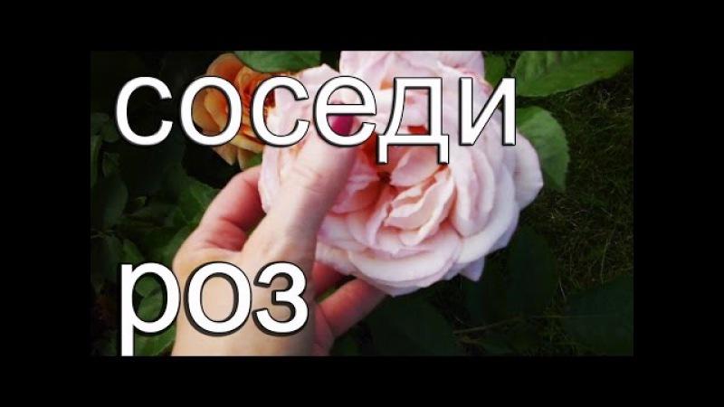 С чем сажать розы. Сочетание растений.