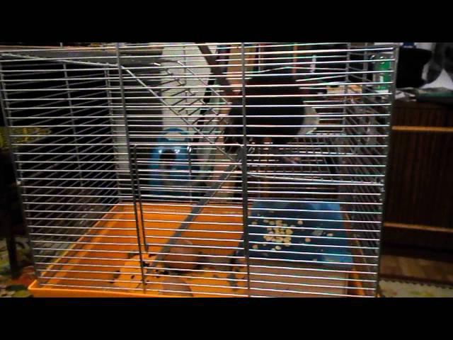 Крыса и мышь :бой