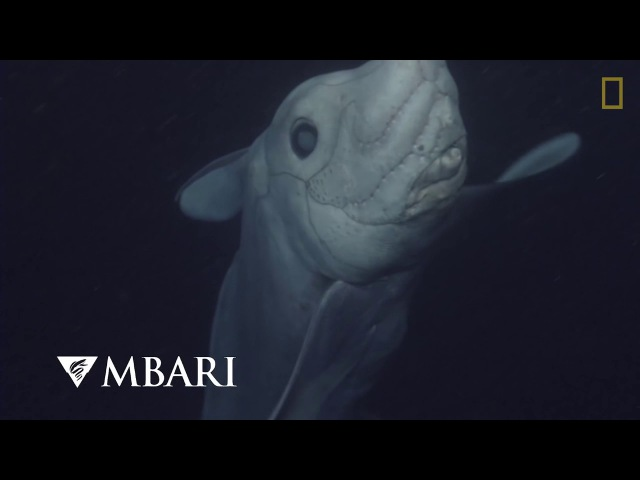 Акула - Призрак Химера (Ghost Shark Caught on Camera for the First Time)