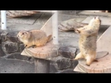 Эпическая реакция луговой собачки на чихание человека