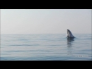 Горбатый кит весом 40-тонн полностью выпрыгивает из воды, словно дельфин.