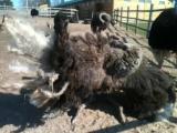 Псковская страусинная ферма