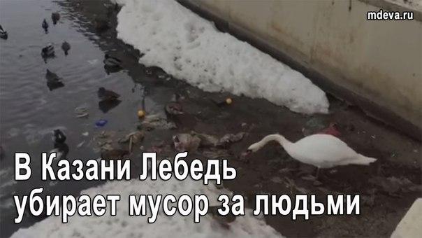 Сдали нервы в Казани лебедь убирает за людьми мусор