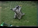 Raccoon Plays Water Harp Енот играет на арфе