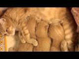 котята и мама шотландские рыжие кошки
