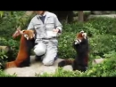 Веселые красные малые панды. Red Panda