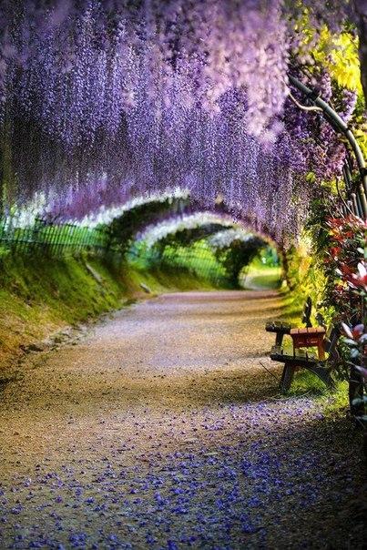 Тоннель Вистерия в саду Кавати Фудзи, Япония