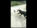 Ротвейлер VS молодой буллитоса (собачьи бои)