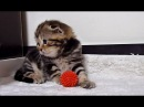 5 Cute Scottish Fold Kittens , Mom Cat  and  sister  Stream 2017