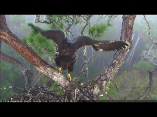 AEF–NEFL Eagle Nest – Hope's first (mini)branch by her 2nd month