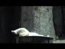 Белая медведица и ванна льда