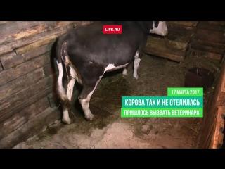 Чудо свершилось! Звезда интернета корова Яна из станицы под Среднеуральском родила здорового теленка
