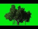Футаж дерево на зеленом фоне.