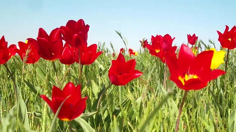 Тюльпаны Калмыкии,Приютное