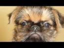 Брюссельский гриффон - собака - компаньон, любимец для всей семьи