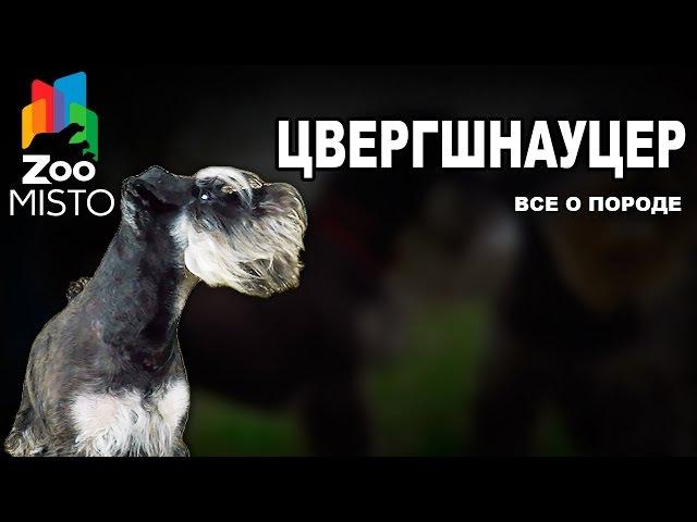 Цвергшнауцер - Все о породе собаки   Собака породы Цвергшнауцер