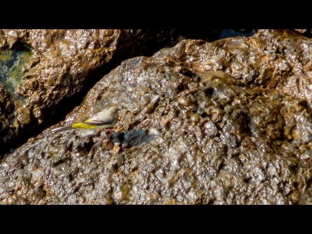 Трясогузка горная (Motacilla cinerea)
