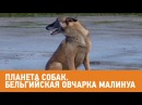 Бельгийская овчарка Малинуа Планета собак 🌏 Моя Планета