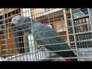 Чудеса АЛЛАХА попугай произносит Субханаллагь.