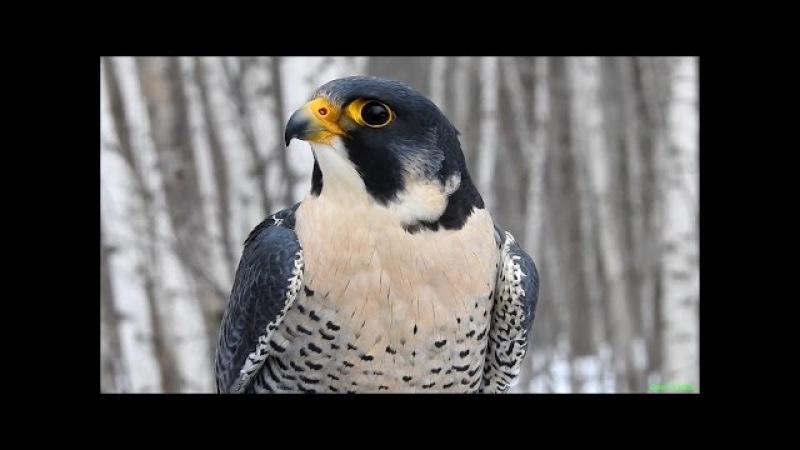 Сапсан хищная птица - Peregrine falcon