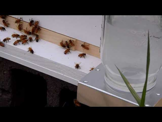 Honey Bees Checking the Boardman Feeder