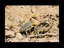 Желтый скорпион Палестинский скорпион Омдурманский скорпион Leiurus quinquestriatus