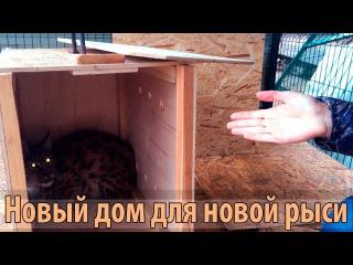 НОВАЯ РЫСЬ. Самец сибирской рыси по кличке Мартин