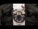 Мопс Фрэнк Меркулов спит - Pug Frank Merkulov. Смешно. Прикол. Funny. Как храпит * хрюкает мопс