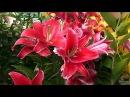 Ботанический сад Царство лилий 2017