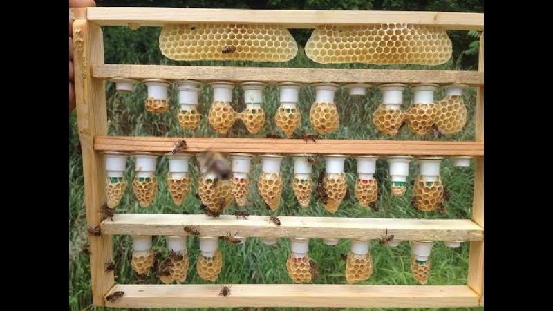 Nasza hodowla matek pszczelich