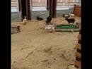 Бой козлов в Московском зоопарке