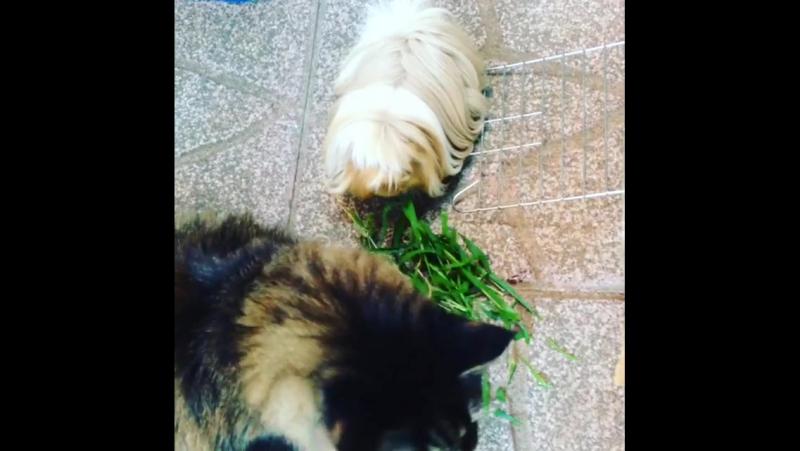 Strange friendship maincoon guineapigs frienshi... Рим 23.09.2017