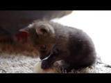 Red fox baby(Лисёнок)