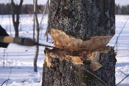 В Зеленчукском районе черные лесорубы нарубили леса на три миллиона рублей