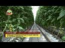 Глава ДНР проверил первый урожай томатов ГП «Теплицы Донбасса»