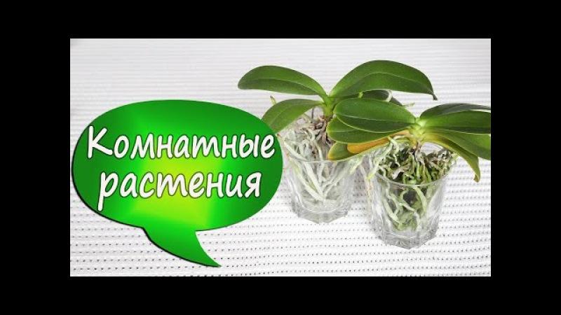 7. Орхидеи в стекле! Фаленопсис без коры/грунта. Отсаживаем детку. Убираем старые листья