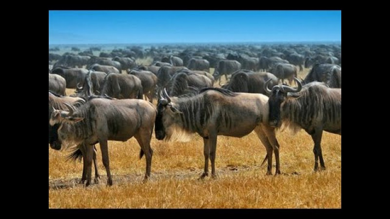 Мир дикой природы. Животные саванны.