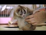 Самое милое животное в мире лемур  лори  смешные животные  милое видео