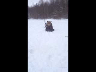 Притрава собак на медведя 1