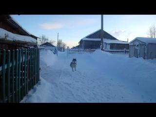 Бешеные псы в деревне)