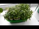 Выращивание рассады перцев в домашних условиях ч 1