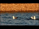Black tailed Gull Чернохвостая чайка Larus crassirostris