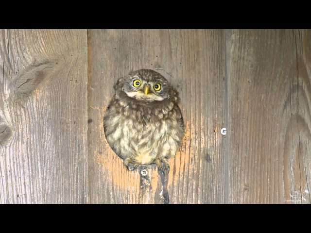 Little owl Домовый сыч Athene noctua